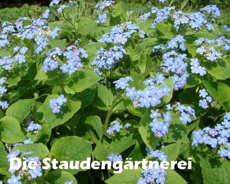 Brunnera macrophylla, 2,50 €, Kaukasusvergissmeinnicht, schön zu Narzissen!!! 40 cm hoch, blüht 4 - 5