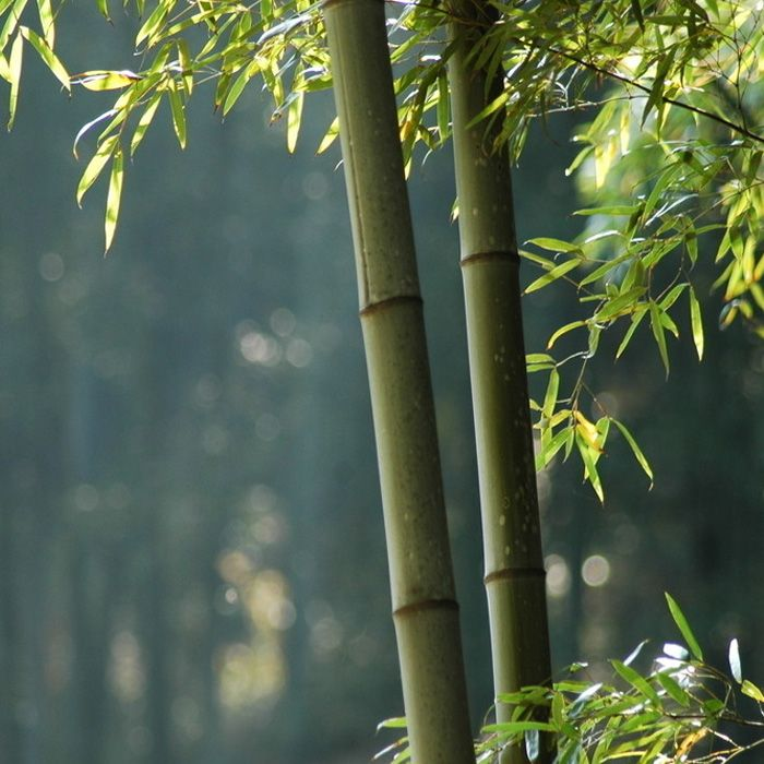 100pcs Garden Evergreen Arbor Moso Bamboo Seeds Courtyard Phyllostachys Pubescens Plants - Newchic Mobile.