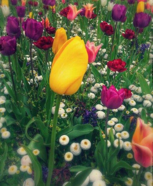 Tulips | Hatfield town center | Photographed by: @aiejones
