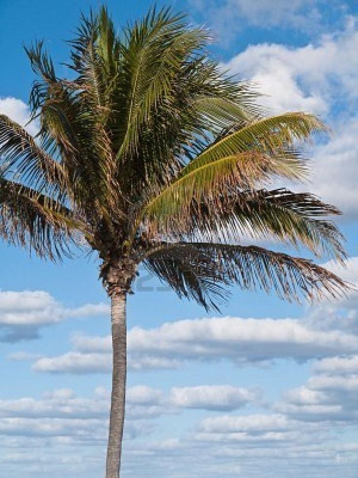 Florida palm trees