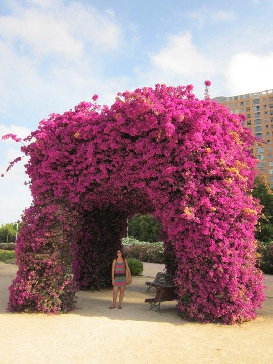 Mercedes Ann Arbor >> 17+ best images about buganvilla on Pinterest ...