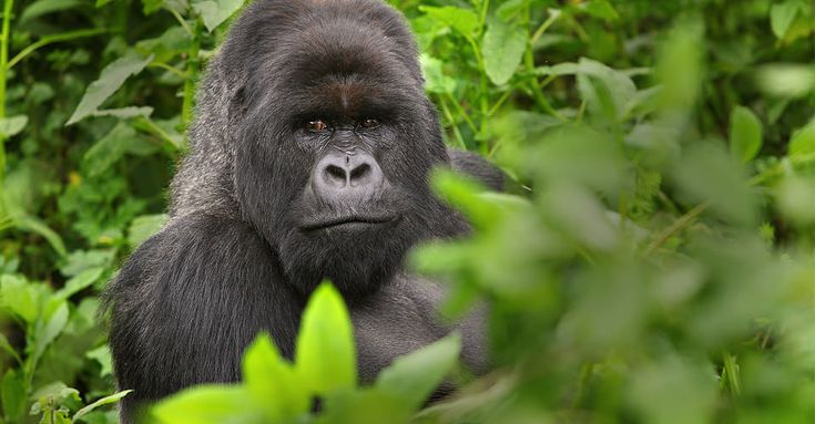 Mountain Gorillla- Rwanda | Gorilla Photo Safari | Natural Habitat Adventures