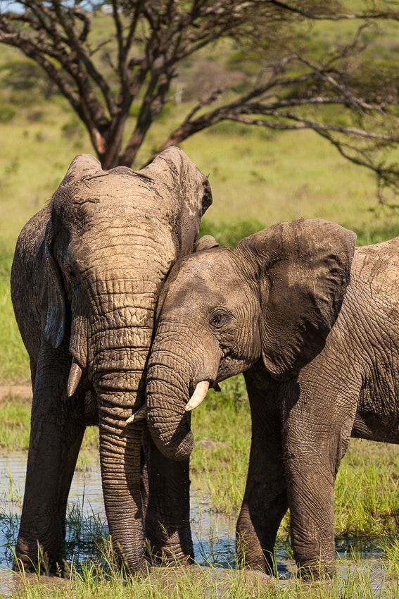 Please, let´s cuddle - Hluhluwe Imfolozi National Park. A great place to see Elephants in an amazing landscape.