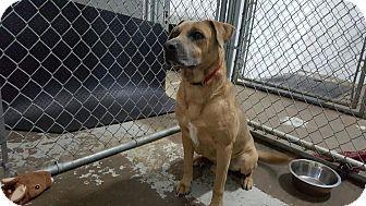 Calgary, AB - Bull Terrier/Boxer Mix. Meet FRESO, a dog for adoption. http://www.adoptapet.com/pet/15255755-calgary-alberta-bull-terrier-mix