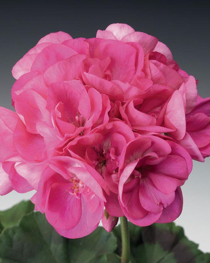 Common Garden Flowers Pink 396 best pelargoniums images on pinterest | flowers garden, plants