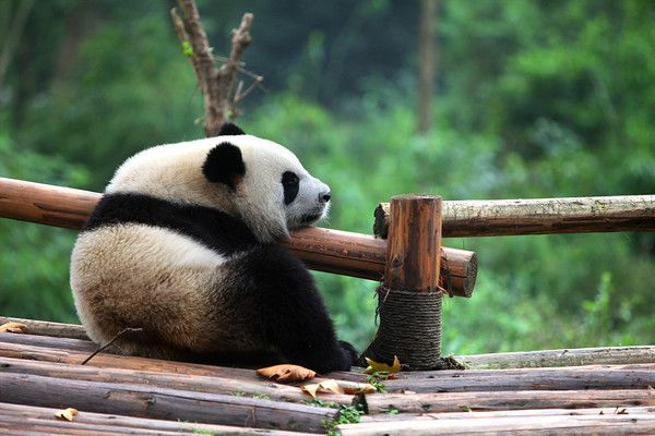 And what is a visit to Sichuan's capitol, Chengdu without a visit to their Panda Breeding Centre! It is here you will see pandas in an environment which, despite being man-made, is very large and lush. This guy seems to be missing someone! #Panda #Pandas #Animal #Cute #Sichuan #China #Chengdu