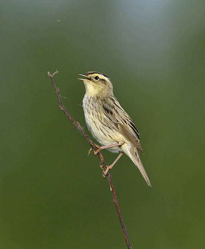 Aquatic Warbler - Acrocephalus paludicola Copyright Paul Sterry/Nature Photographers Ltd