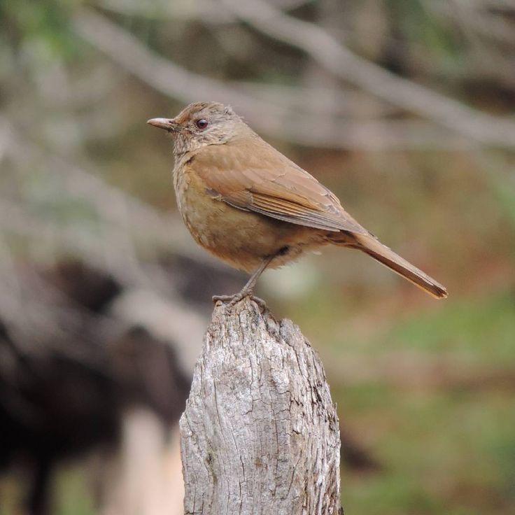 "39 curtidas, 1 comentários - Jessica Gabriela Edel 🍁 (@jess_edel) no Instagram: ""A free bird. ❤ #TurdusFumigatus #bird #nature #wonderful #photography"""