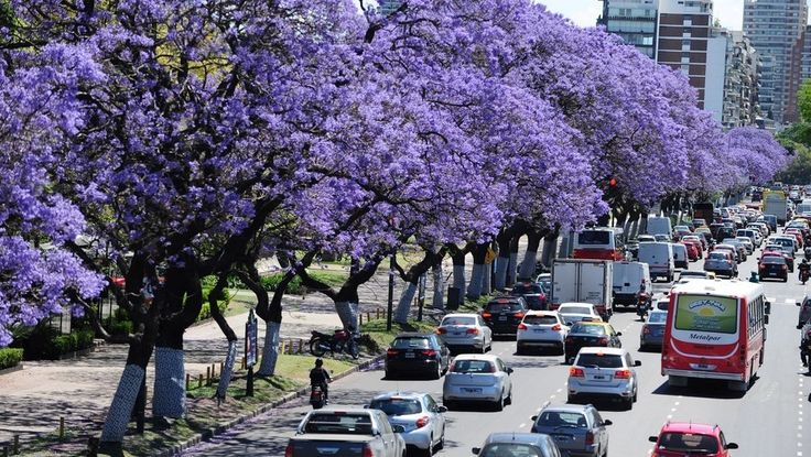 El jacarandá pinta de lila a Buenos Aires y cautiva a porteños, artistas y turistas