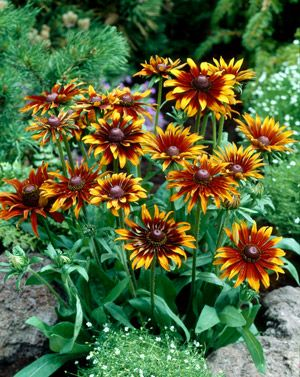 Moreno ( Rudbeckia hirta ) Fleuroselect, 6 bicolored blooms, mahogany/yellow tip, compact well branched, for pot or garden, grows 12 tall, hardy to zone 5.