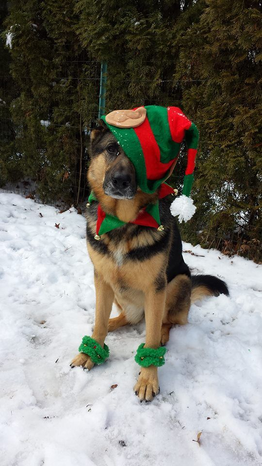 How do i look? German Shepherd wearing hat and gloves,