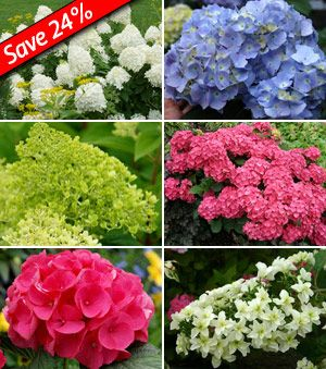 Hydrangeas for Cutting CollectionIncludes these 6 plants:(1) - Hydrangea Snowflake(1) - Hydrangea