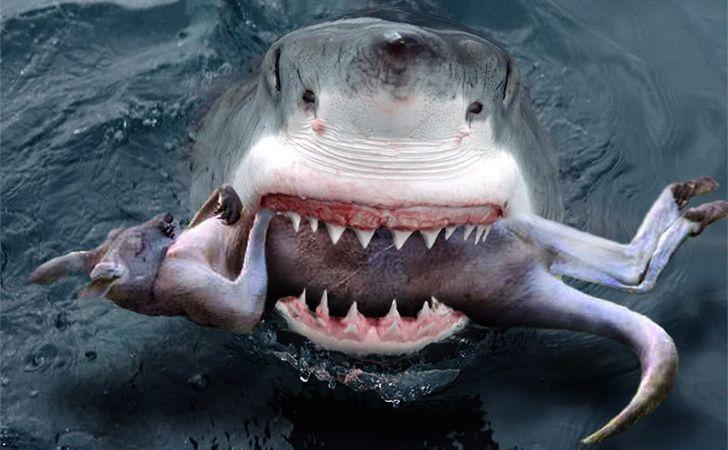 Great white shark eating a kangaroo australia new for What do fish eat in the ocean