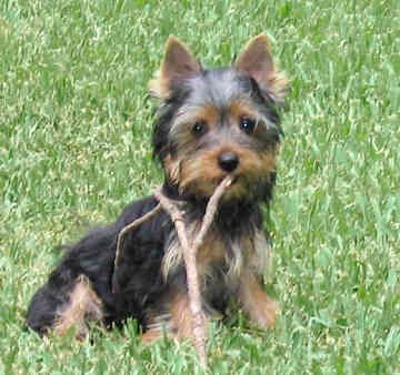 silky terrier hypoallergenic best 25 small hypoallergenic dogs ideas on pinterest 9537