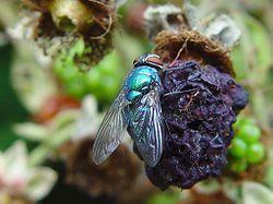 Fliege auf Brombeere.jpg
