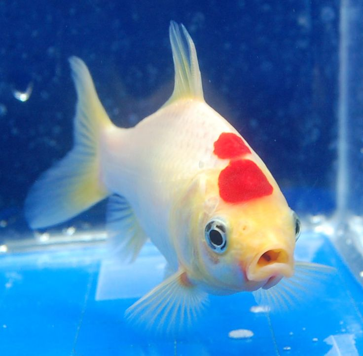 Pregnant fantail goldfish the image kid for Live feeder fish