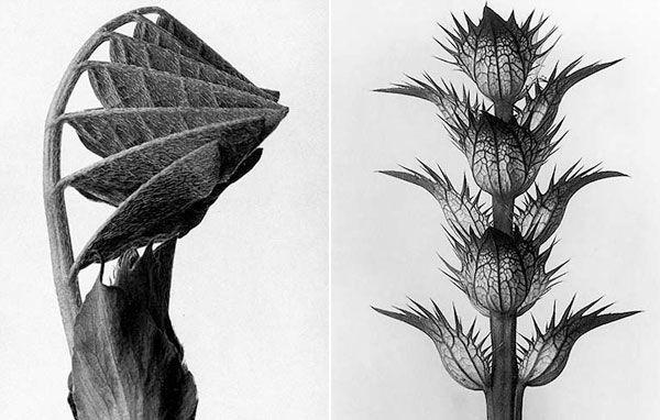 Black and white plant portrait photography by Karl Blossfeldt