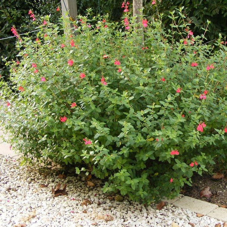 1000 id es sur le th me arbustes feuillage persistant for Arrosage plante hiver