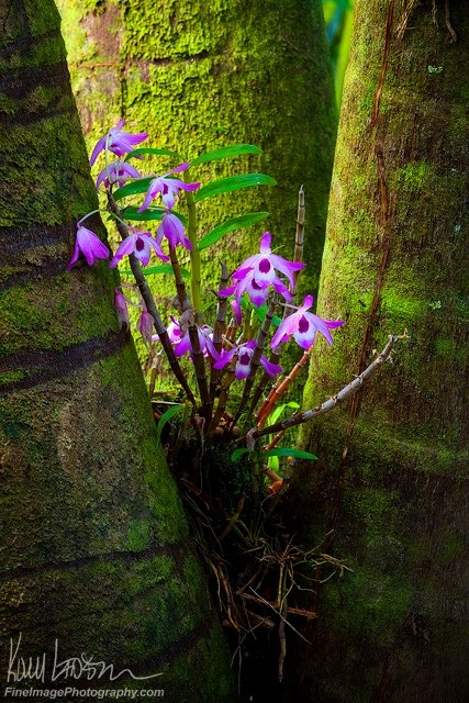 """FLUORESCENT FLOWERS"" Another image from Hawaii. These vivid flowers have made their home in the trunk of a tree -- I almost gasped when I saw them. Goes to show that life can take hold just about anywhere in a tropical rainforest. Kory Lidstrom"