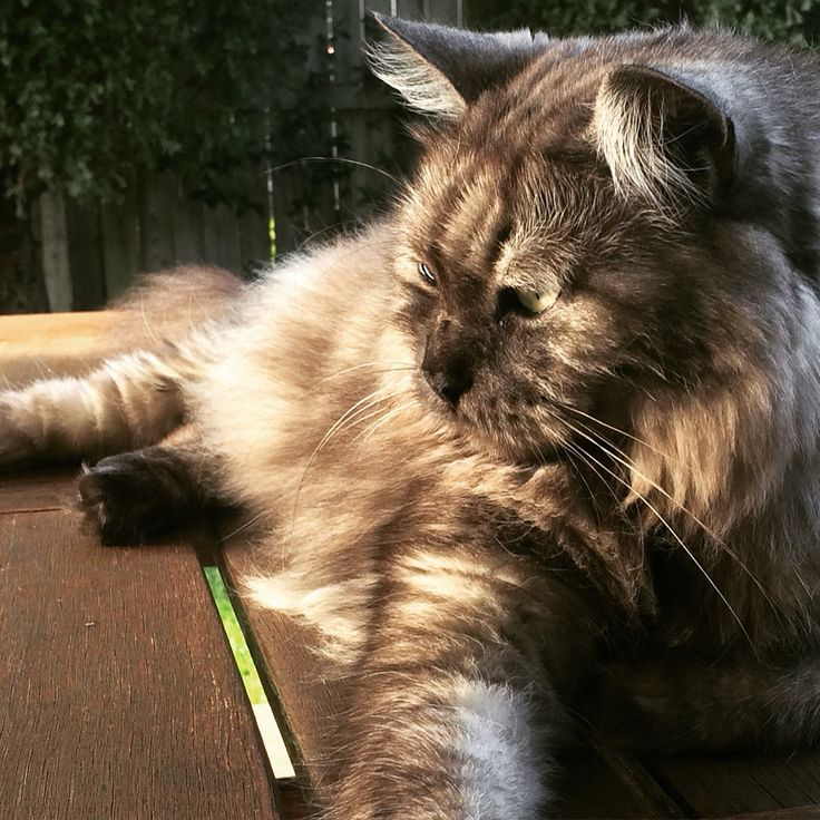 Our cat Buddha soaking up the late Autumn sun. Ragdoll cross Persian. A gentle soul