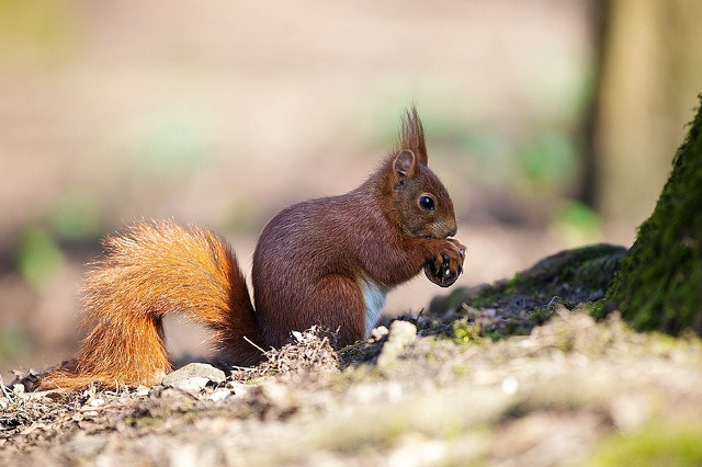 I want it: Hairdos, Colors, Do You, Red Squirrels, Photo, Guys, Nice Hair,  Eastern Foxes Squirrels,  Sciurus Niger