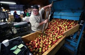 Curtis Orchard employee Cory Kallembach pushes apples from a 20-bushel bin into a washer, where water will clean every apple before they are transported by conveyor belt to the grinding and pressing machine.