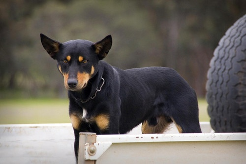 Australian Kelpie - Sure looks like my Bella...not sure why she loves me out of everyone in the world but she does and I love her.