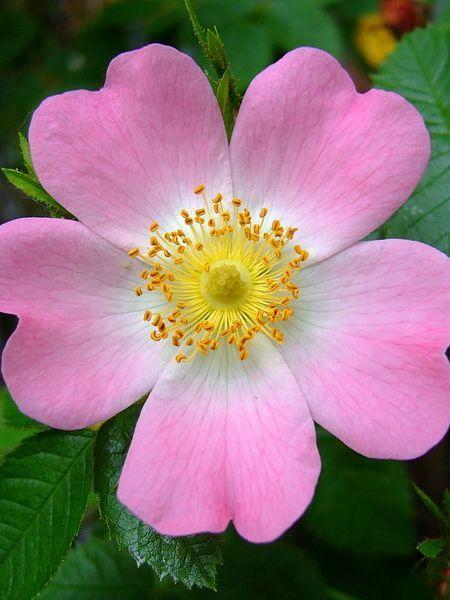 Rosa canina (dog rose)
