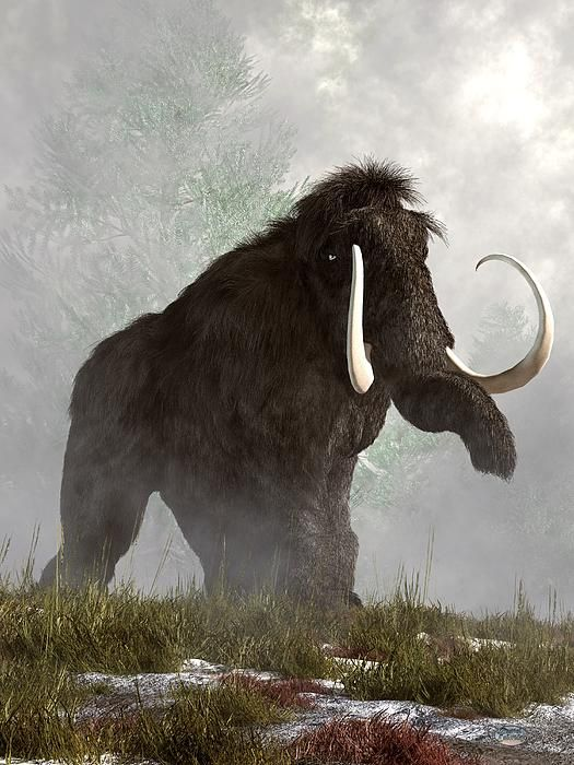 On a misty morning, a grey woolly #mammoth trudges through the snow and grass.  He looks a bit annoyed that you are in his way.    Woolly mammoths were cousins to elephants that roamed both Northern Europe and North America.  These magnificent animals went extinct around ten thousand years ago.  The reasons for the extinction have not been agreed upon and may be attributed to climate change as the ice age ended or over hunting by prehistoric humans.