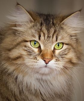 Siberian Cat - this is what Tiger was. The best cat ever.