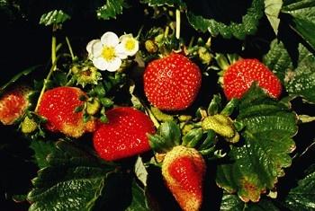 Strawberry Plant Care