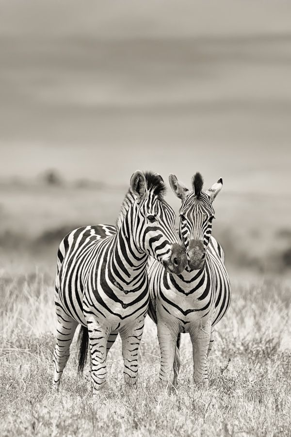 Zebras (Equus quagga) on the open plains in Addo Elephant National Park in Africa, by Mario Moreno