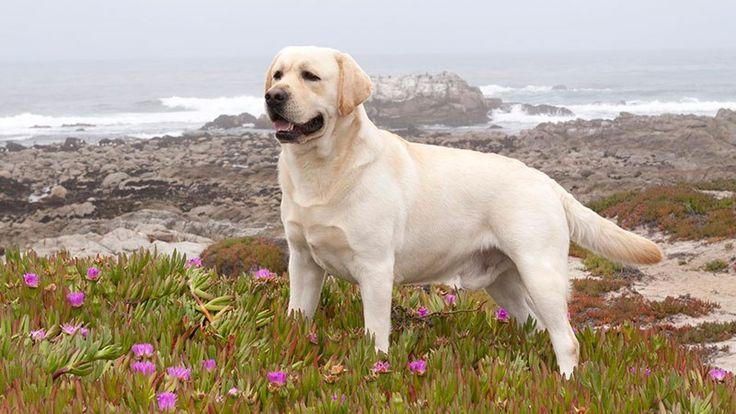 Te hablamos de 8 razas de perros fáciles de adiestrar