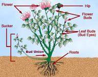 How to prune roses, i think I needed this information like...a month ago...yay...hopefully not too late.