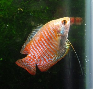Dwarf Gourami Live Freshwater ...........click here to find out more http://googydog.com