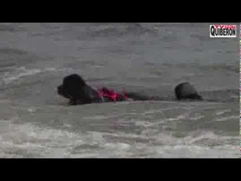"""http://www.carnac-tv.fr Reportage TV Quiberon 24/7 - 20 0ctobre 2013 - Des grosses vagues dans le port de Carnac-plage dans le Morbihan en Bretagne sud, les courageux chiens Terre-neuve et Retriever participent à un exercice de sauvetage à l'occasion du salon de la glisse Sail N'Gliss 2013. Les maitres sont membres de l'association de Saint Pierre Quiberon """" Les Chiens de la Cote """""""