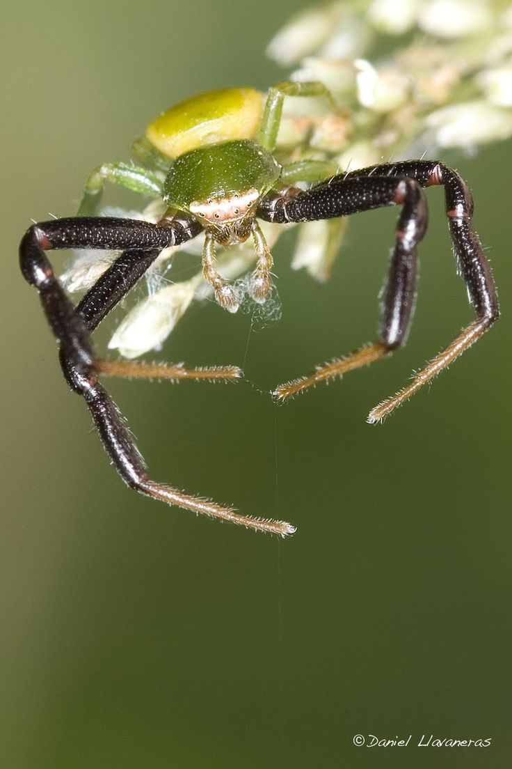 best 25 crab spider ideas on pinterest spiders bugs and