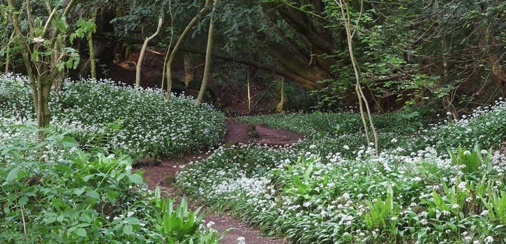 We can practically smell that wild garlic! So aromatic and in abundance in spring at Forest of Dean, Gloucestershire #forestretreat #ukgetaway