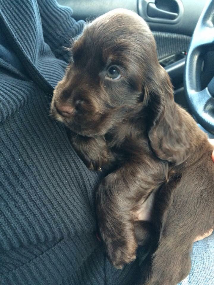 My beautiful chocolate, english cocker spaniel