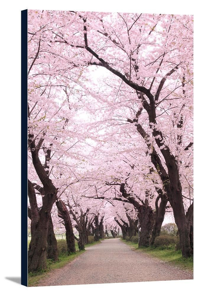 Canvas Cherry Orchard Blossoms Lantern Press Photography In 2021 Beautiful Nature Cherry Blossom Season Tree Photography