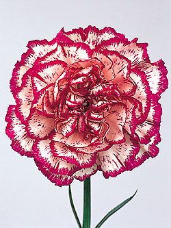 Carnation, January, Carnation   pink gratitude  red flashy  striped refusal  white remembrance  yellow cheerful