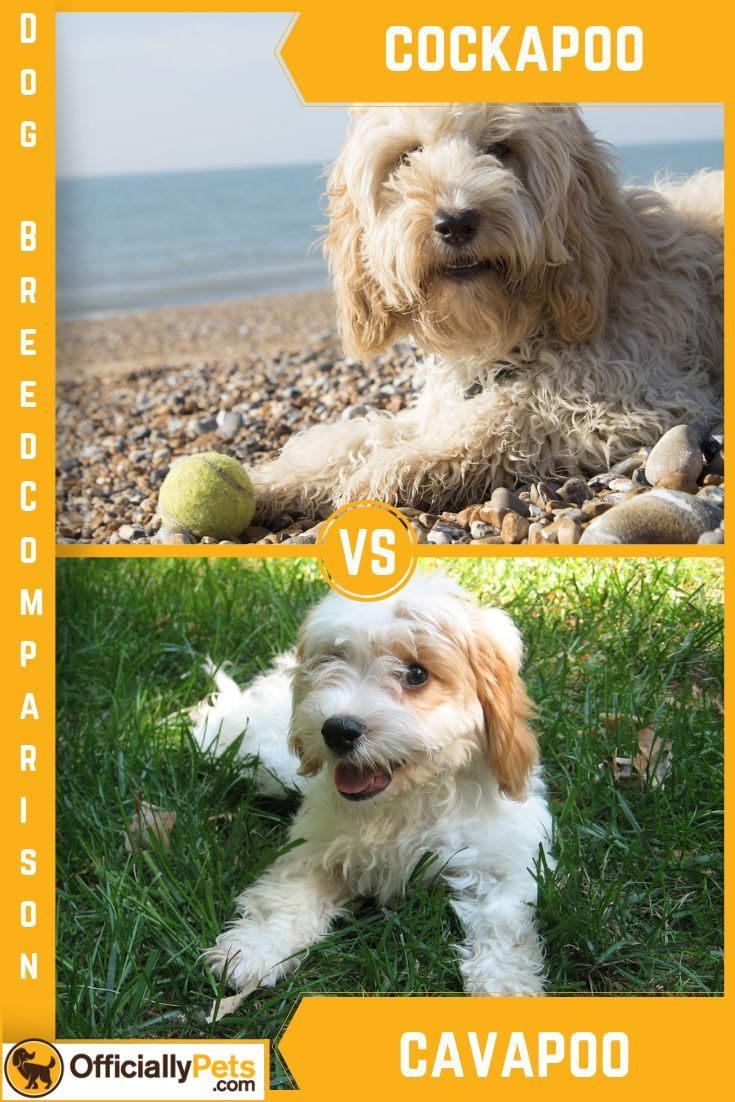 Cockapoo Vs Cavapoo A Detailed Comparison Of Both Dog Breeds The Question Is Cockapoo Vs Cavapoo Which One Is Best For You Dog Breeds Cockapoo Cavapoo