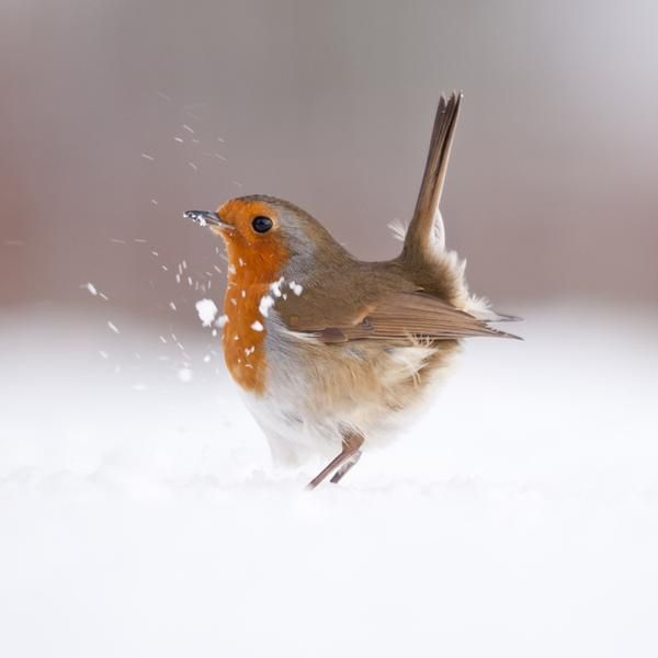 Sweet little robin...Ross Hoddinott UK Wildlife Photographer of the Year 2013