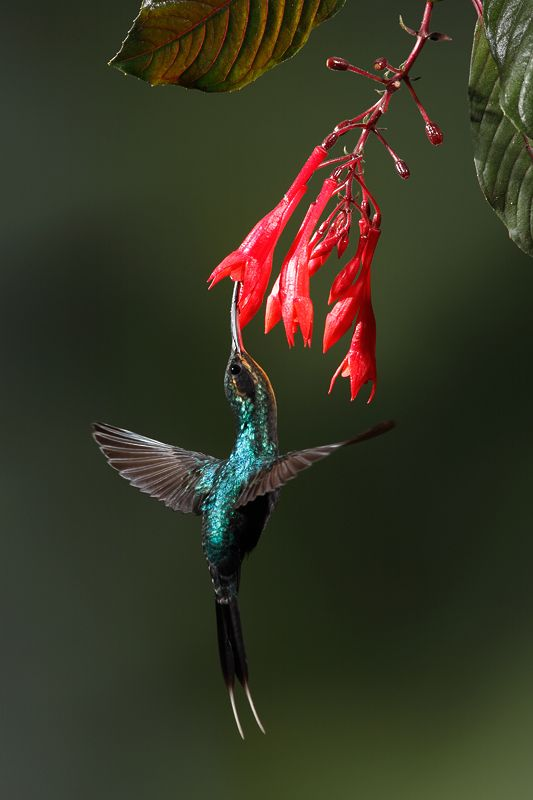 Juan Carlos Vindas Photography » Hummingbirds in Flight