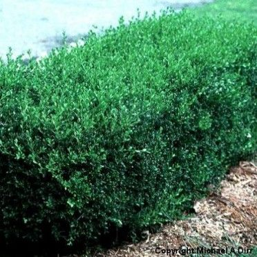 how to cut boxwood shrubs
