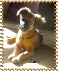 ZADA is an adoptable Jack Russell Terrier (Parson Russell Terrier) Mix