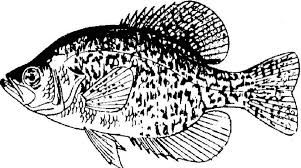 Image result for crappie drawing