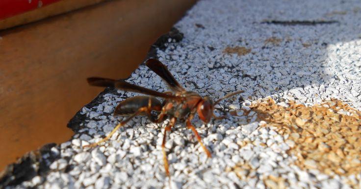 J.C.'s Bees: Homemade Wasp Killer (Spray)