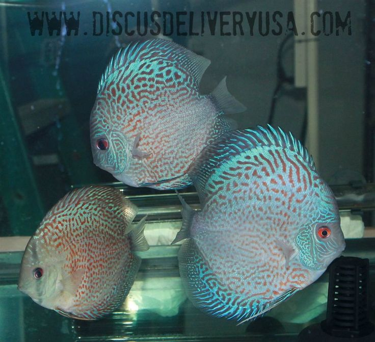 25 best blue discus fish images on pinterest discus fish for Live discus fish for sale