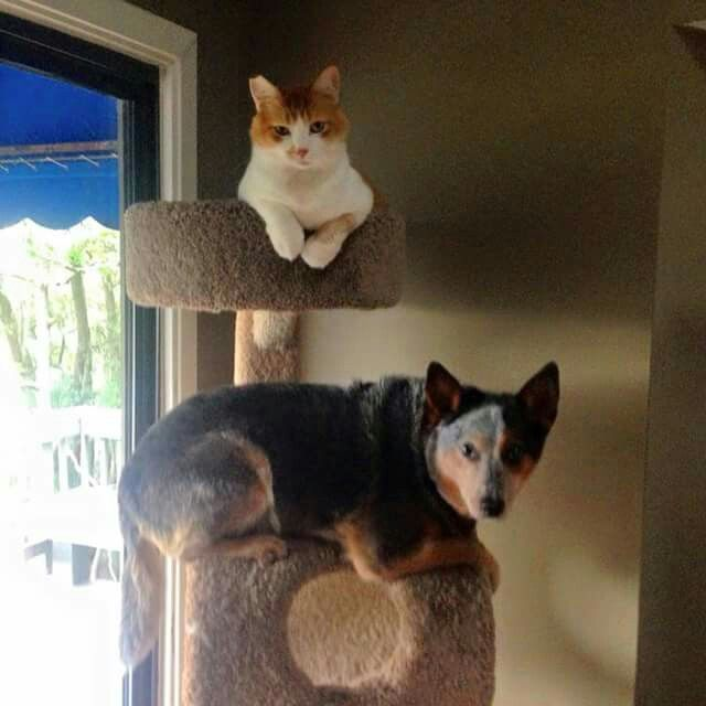 Resultado de imagen para heeler and cat